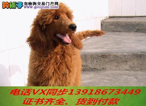 纯种贵宾犬出售可上门当天发货签订协议