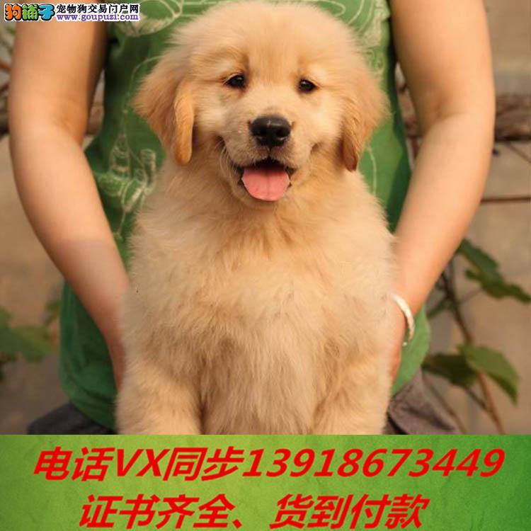 专业金毛犬繁殖,血统纯正带证书签协议包养活