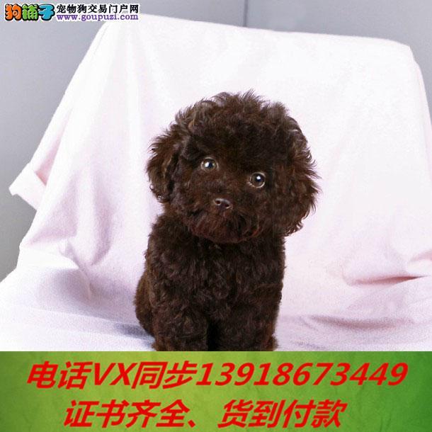 专业繁殖泰迪犬,血统纯正带证书签协议包养活3