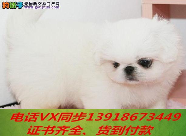 京巴犬繁殖,血统纯正带证书签协议包养活