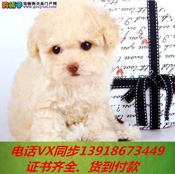 专业繁殖泰迪犬,血统纯正带证书签协议包养活