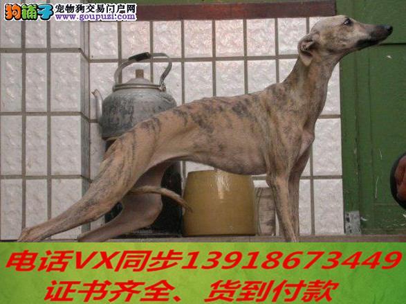 格力犬繁殖,血统纯正带证书签协议包养活