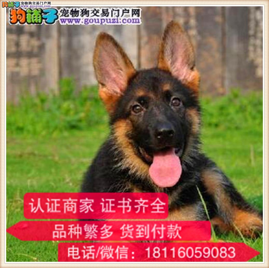 官方保障 出售纯种德牧犬 健康有保障可签协议