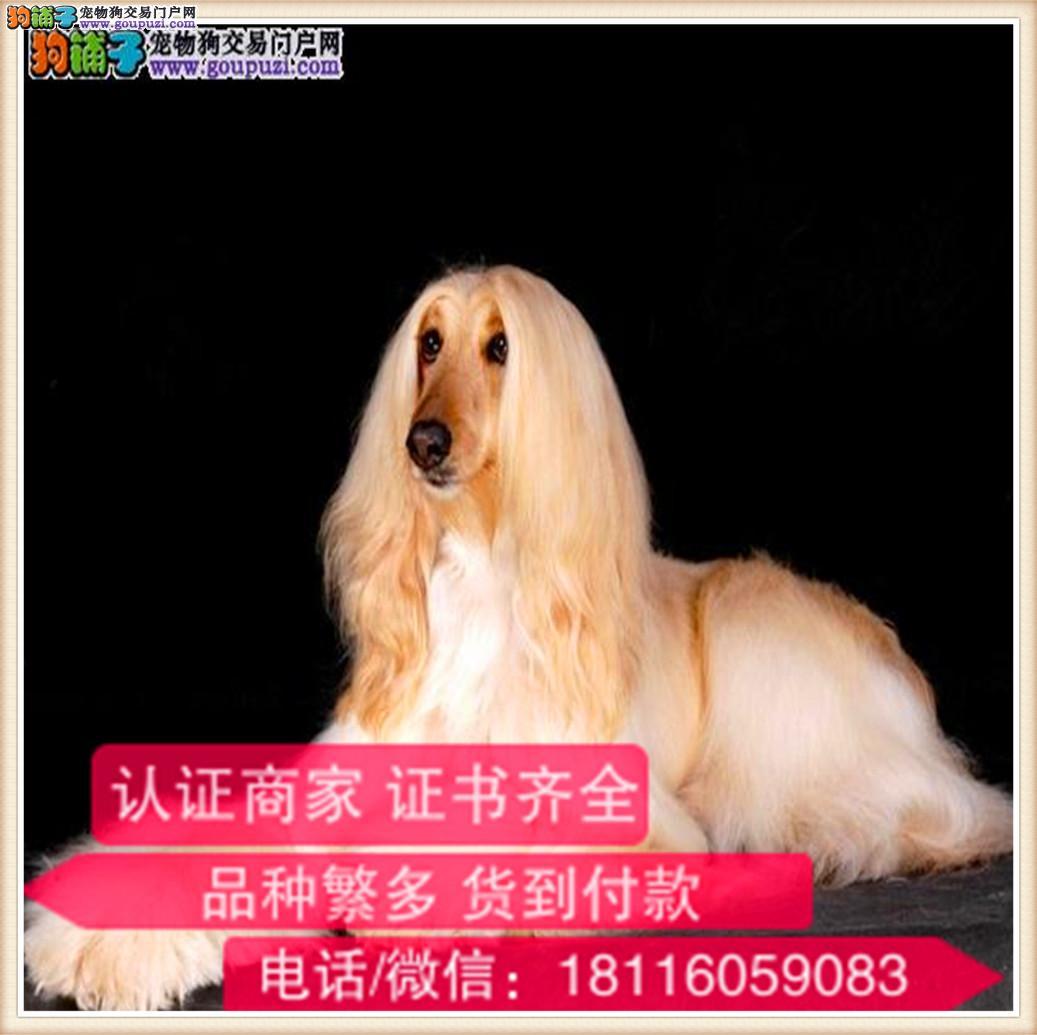 官方保障 出售纯种阿富汗猎犬 健康有保障可签协议