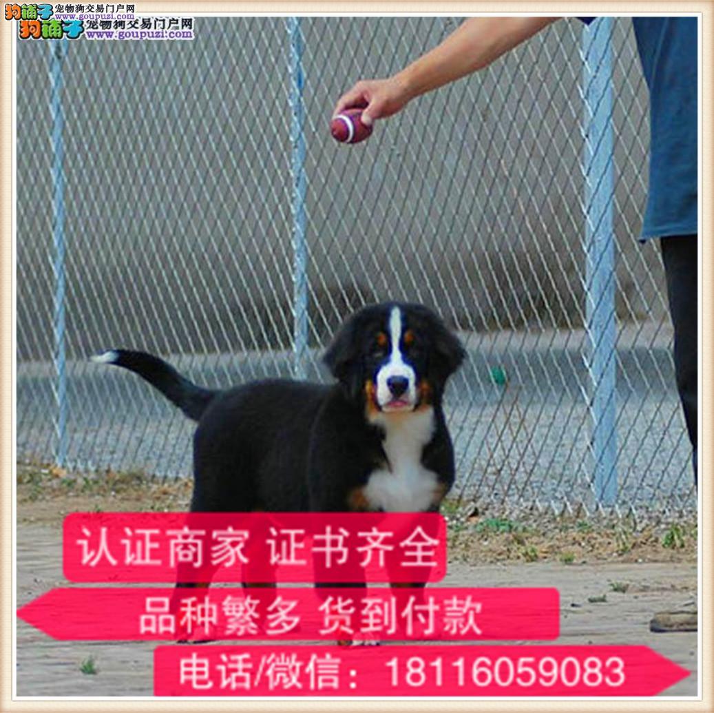 官方保障|出售纯种伯恩山犬 健康有保障可签协议