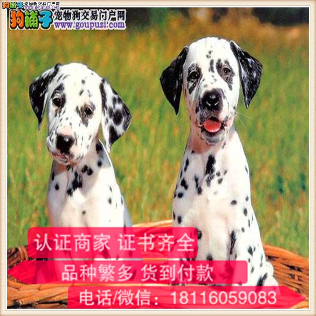 官方保障|纯种斑点狗包健康纯种可签协议带证书