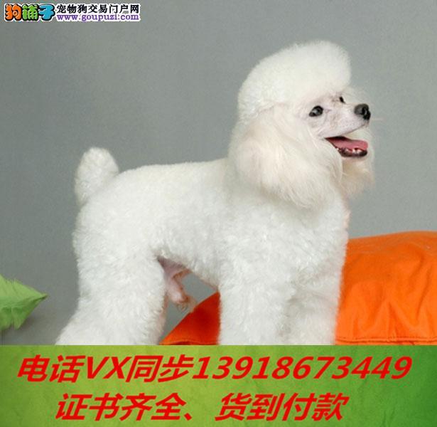 专业繁殖贵宾犬纯种可实地挑选当天发货送上门