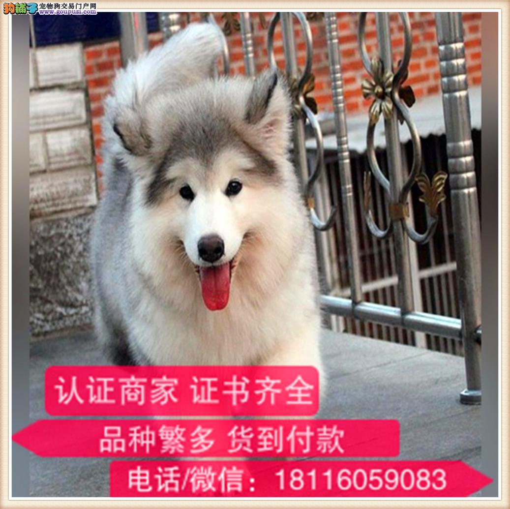 官方保障|纯种阿拉斯加犬 健康有保障可签协议带证书4