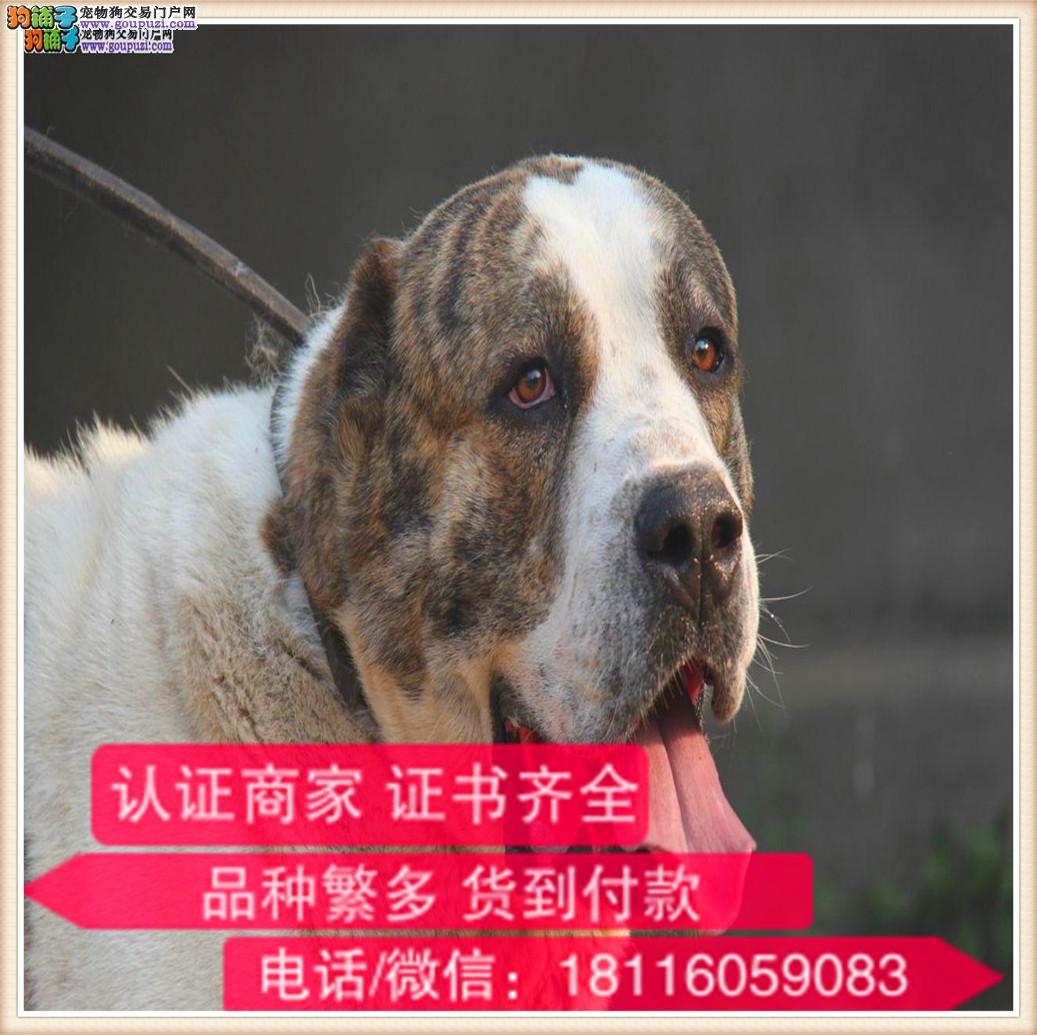 官方保障|纯种中亚 健康有保障可签协议带证书犬舍直销