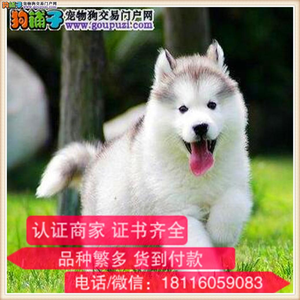 官方保障|纯种阿拉斯加犬 健康有保障可签协议带证书2