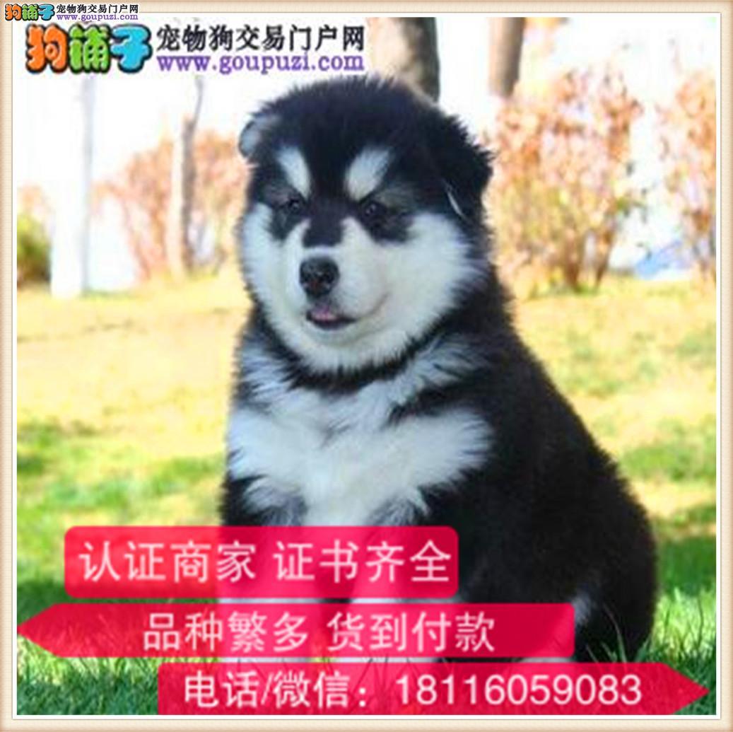 官方保障|纯种阿拉斯加犬 健康有保障可签协议带证书3