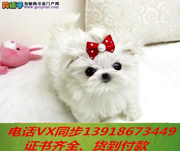 家养繁殖 纯种马尔济斯宠物狗狗 疫苗齐包品质健康