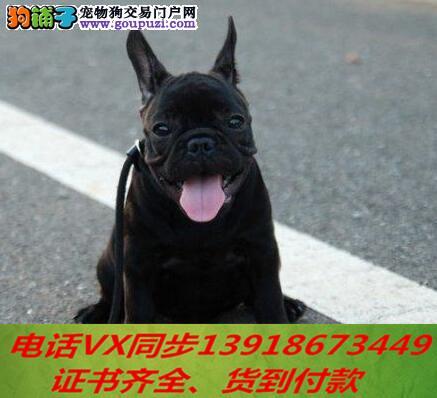 本地犬舍出售纯种法斗 包养活 签协议 可送货上门