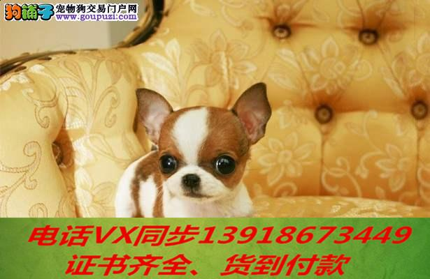 本地正规犬场 出售纯种 吉娃娃包养活签协议