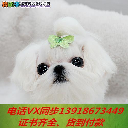 本地犬舍出售纯种马尔济斯 包养活 签协议 可送货上门