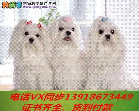 本地犬场 出售纯种马尔济斯 包养活签协议可送货上门