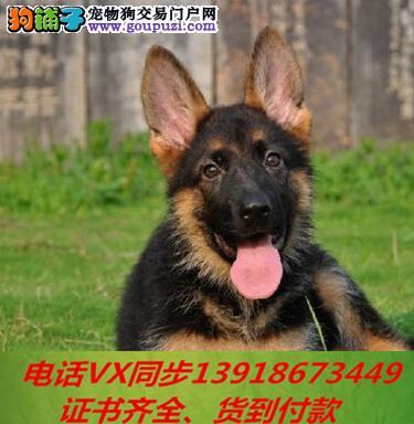 本地犬舍出售纯德牧 包养活 签协议可送货上门!