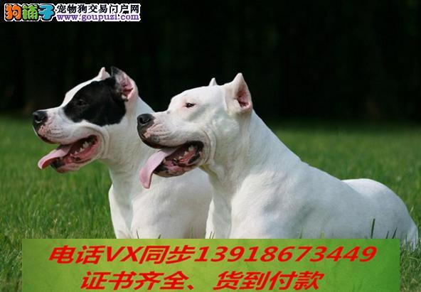 本地犬场出售纯种杜高犬 包养活 签协议可送货上门!!3