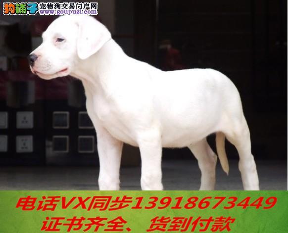 本地犬场出售纯种杜高犬 包养活 签协议可送货上门!!1