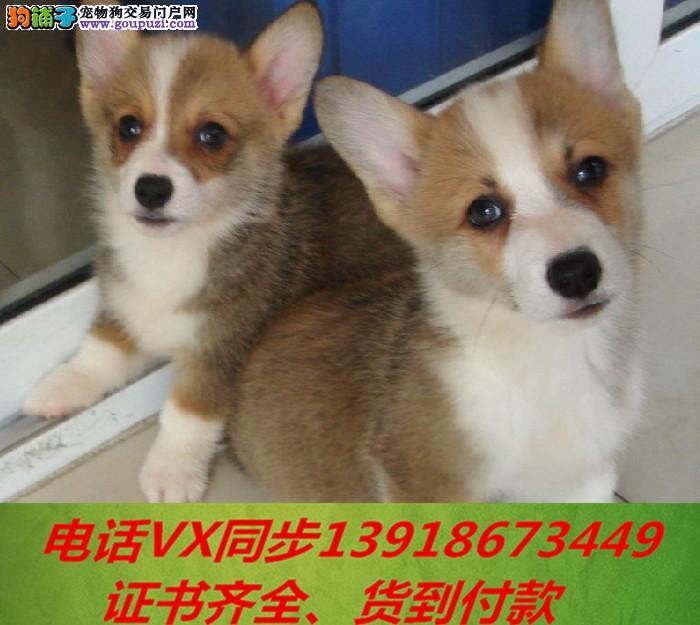 本地犬场 出售纯种柯基犬 包养活签协议 可送货上门!1