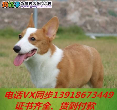 本地犬场 出售纯种柯基犬 包养活签协议 可送货上门!3