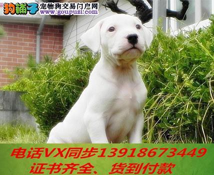 本地犬场 出售纯种杜高 包养活签协议 可送货上门!2