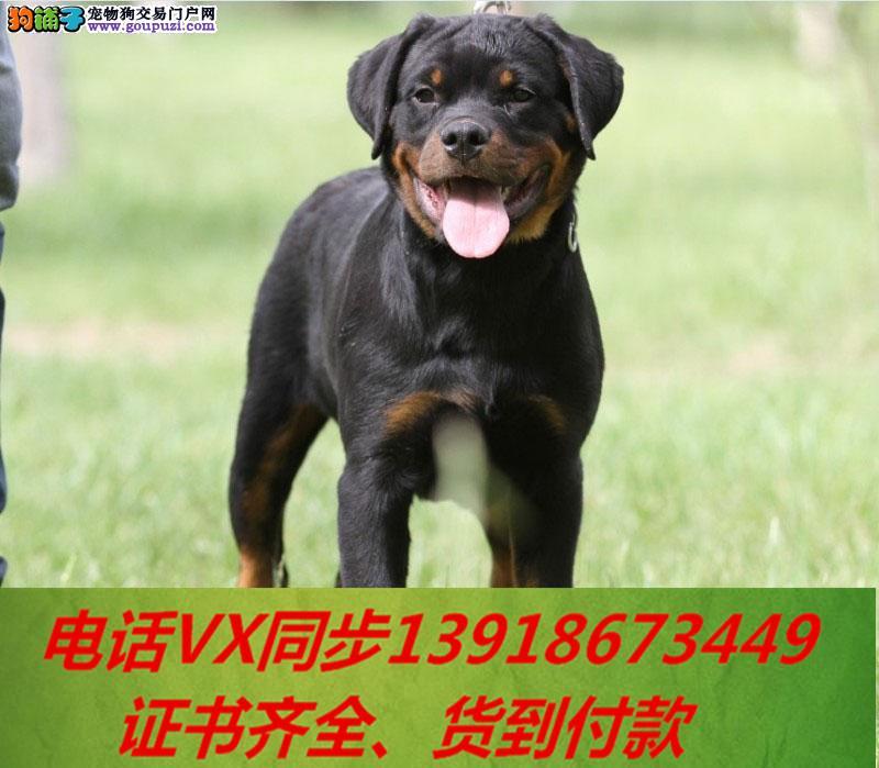 本地犬场 出售纯种罗威纳 包养活签协议 可送货上门!