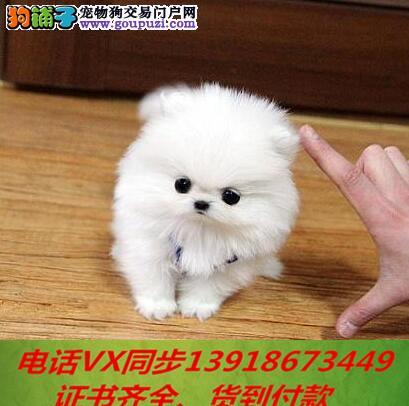 本地犬场 出售纯种茶杯犬 包养活签协议可送货上门!!
