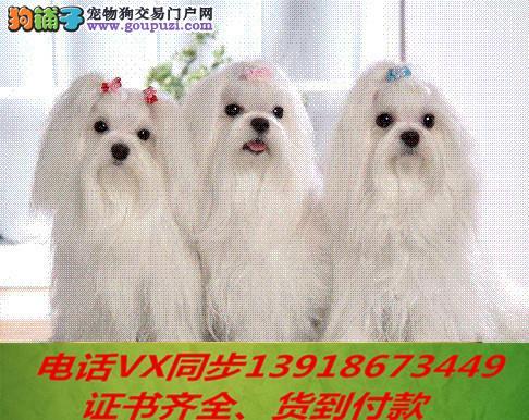 本地犬场 出售纯种马尔济斯包养活签协议可送货上门!1