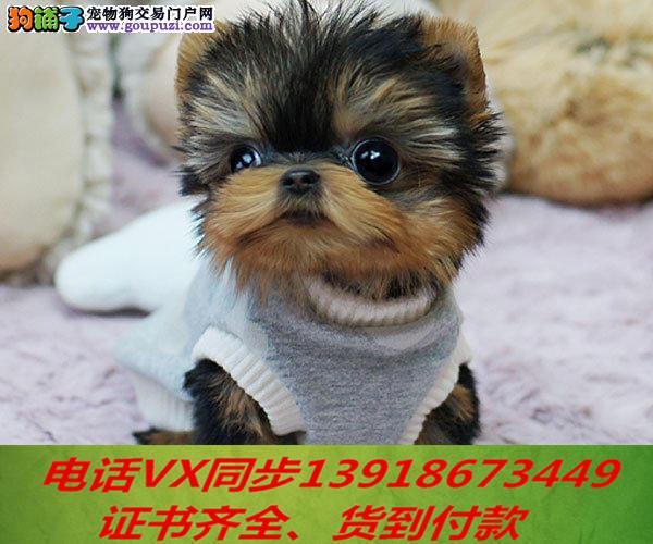 本地犬场 出售纯种约克夏 包养活签协议可送货上门