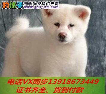 本地犬场 出售纯种秋田犬包养活签协议 可送货上门