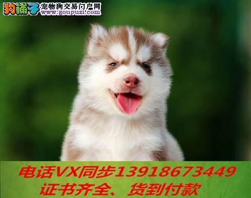 精品纯种哈士奇幼犬家养包纯种健康可视频挑选!