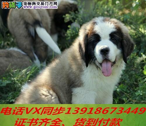 本地犬场 出售纯种圣伯纳包养活签协议可送货上门