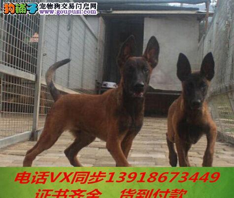 本地犬场 出售纯种马犬 包养活签协议可送货上门!