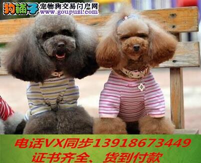 本地犬场 出售纯种贵宾犬 包养活签协议可送货上门!
