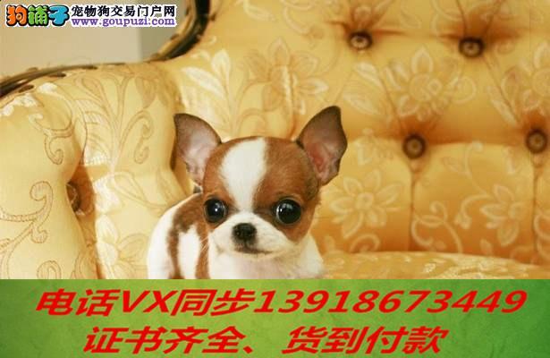 本地犬场 出售纯种吉娃娃 包养活签协议可送货上门!