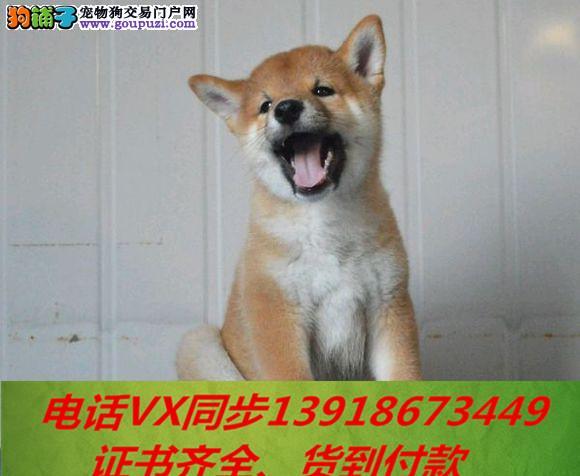 本地犬场出售纯种柴犬 包养活签协议 可送货上门!