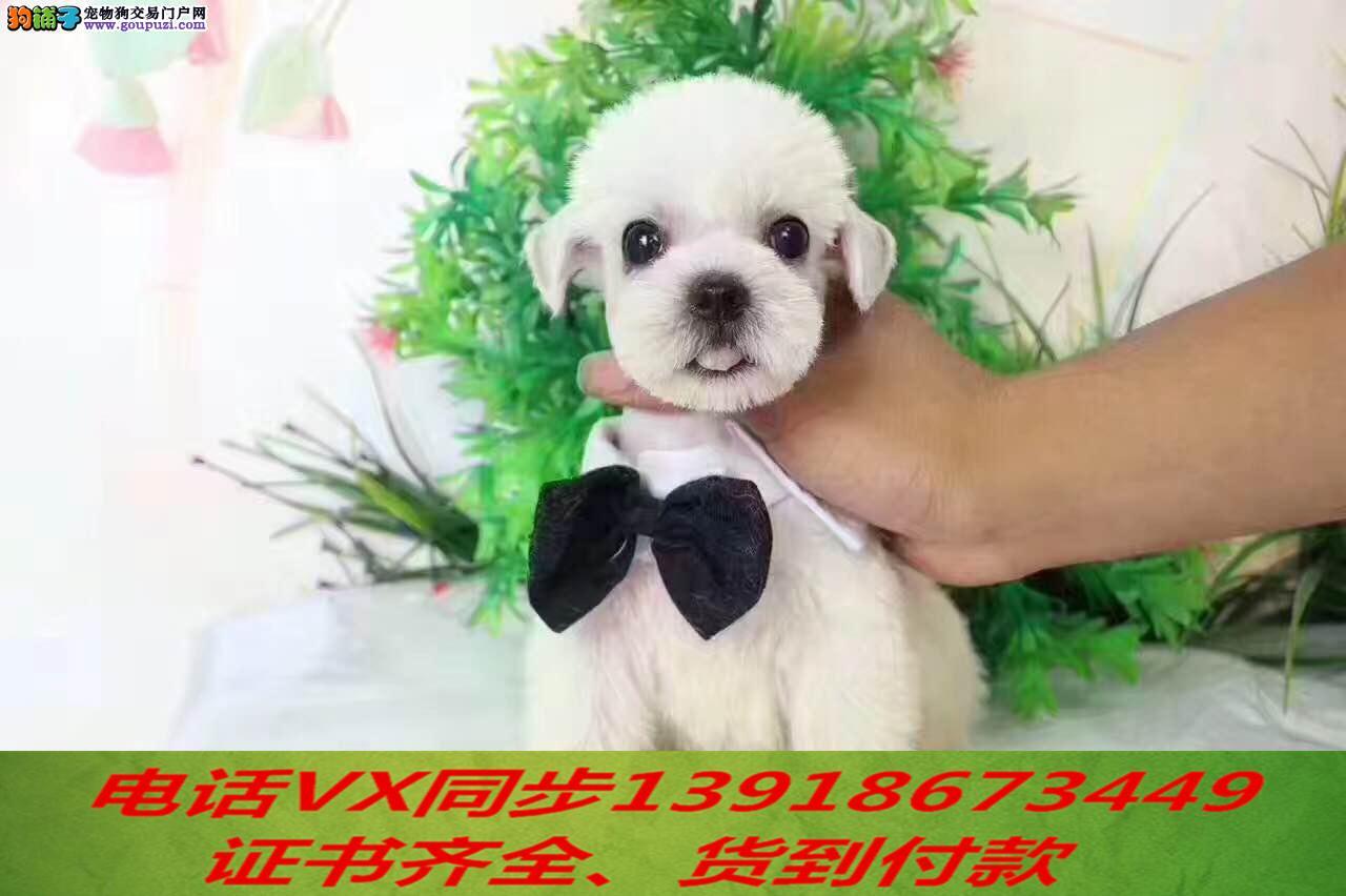 本地犬场出售纯种雪纳瑞 包养活签协议 可送货上门!