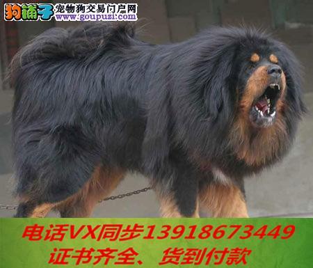 本地犬场出售纯种藏獒 包养活签协议 可送货上门!