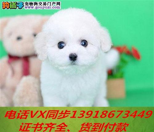 本地犬舍出售纯种比熊犬包养活签协议可送货上门2