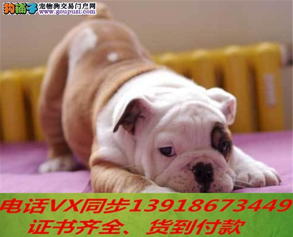本地犬舍 出售纯种英斗包养活签协议可送货上门3