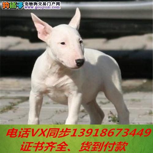 本地犬舍 出售纯种牛头梗包养活签协议可送货上门1