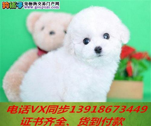 本地犬舍出售纯种比熊犬包养活签协议可送货上门1