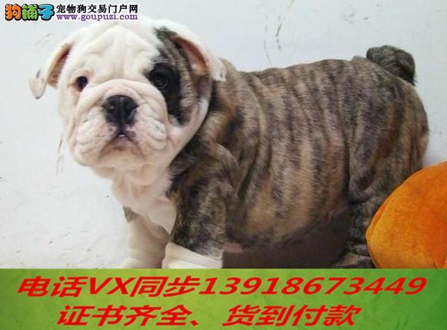 本地犬舍 出售纯种英斗包养活签协议可送货上门2