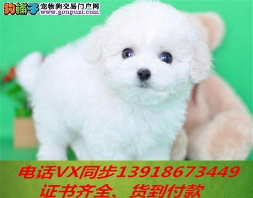 本地犬舍出售纯种比熊犬包养活签协议可送货上门3