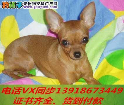 精品纯种小鹿犬 家养包纯种健康可视频挑选!!!!