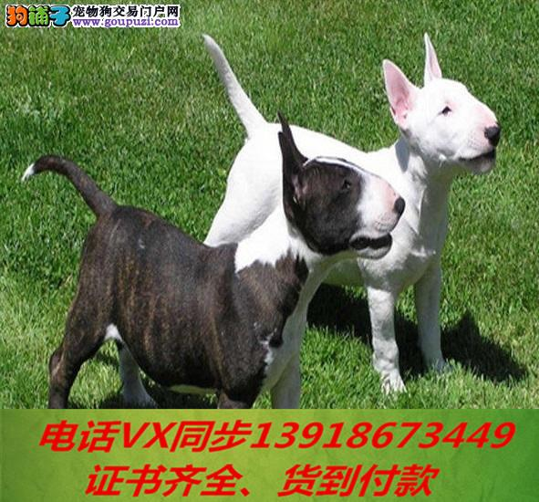 本地犬舍 出售纯种牛头梗包养活签协议可送货上门2
