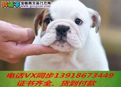 本地犬舍 出售纯种英斗包养活签协议可送货上门1