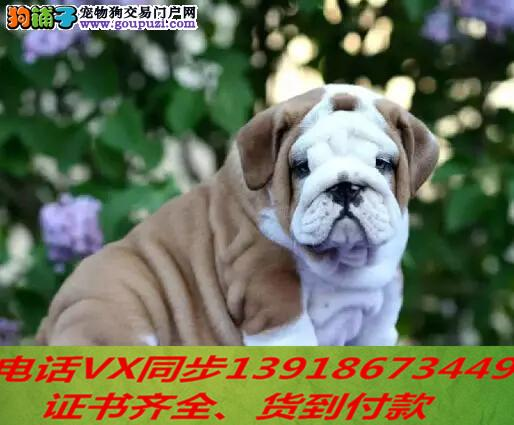 本地犬舍 出售纯种英斗包养活签协议可送货上门4