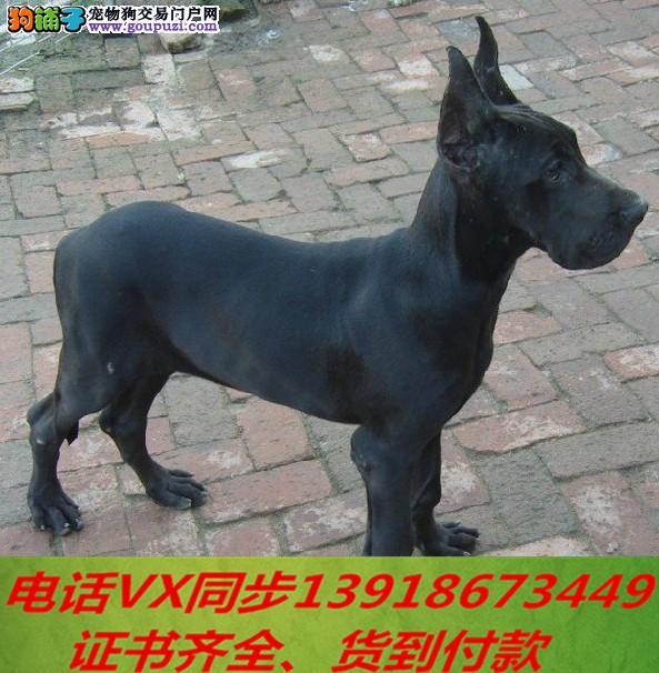 纯种大丹犬出售当天发货可上门.视频签协议